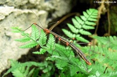 Oreophoetes peruana (weiblich)