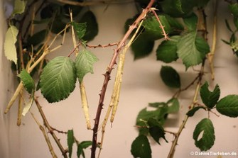 Knickstabschrecke (Phaenopharos struthioneus)