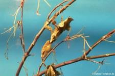 Geistermantis (Phyllocrania paradoxa) im Kölner Zoo