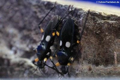 Zweifleck-Raubwanze (Platymeris biguttatus