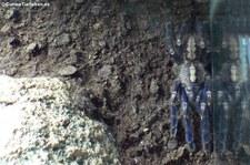 Blaue Ornament-Vogelspinne (Poecilotheria metallica) im Kölner Zoo