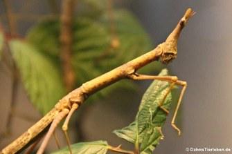 Pseudoproscopia latirostris