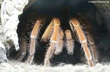 Theraphosa stirmi im Kölner Zoo