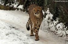Gepard (Acinonyx jubatus jubatus) im Kölner Zoo