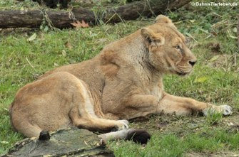 Asiatische Löwin (Panthera leo persica)