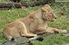 Asiatische Löwin (Panthera leo persica) im Kölner Zoo
