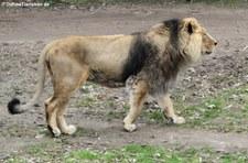 Asiatischer Löwe (Panthera leo persica) im Kölner Zoo