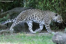 Persischer Leopard (Panthera pardus saxicolor) im Kölner Zoo