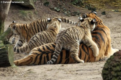 Sibirische Tiger (Panthera tigris altaica)