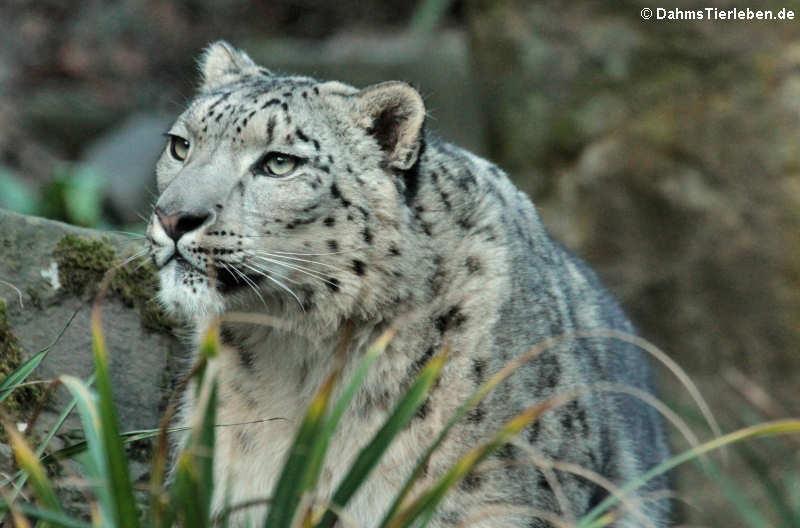 Panthera uncia