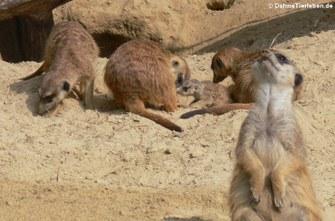 Suricata suricatta (Erdmännchen)