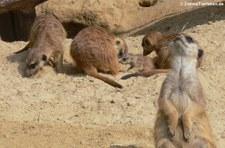 Erdmännchen mit Jungtier (Suricata suricatta) im Kölner Zoo
