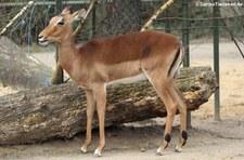 Gewöhnliche Impala (Aepyceros melampus melampus) im Kölner Zoo