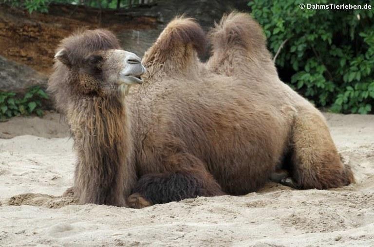 Camelus ferus f. bactrianus