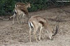 Persische Kropfgazellen (Gazella subgutturosa subgutturosa) im Kölner Zoo