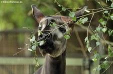 Okapi (Okapia johnstoni) im Zoo Köln