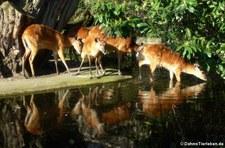 Wald-Sitatungas (Tragelaphus spekii gratus) im Kölner Zoo