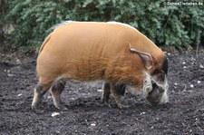 Pinselohrschwein (Potamochoerus porcus) im Kölner Zoo