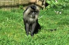 Bartaffe oder Wanderu (Macaca silenus) im Zoo Köln