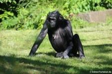 Bonobos (Pan paniscus) im Kölner Zoo
