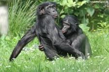Bonobo (Pan paniscus) im Kölner Zoo