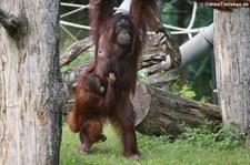 Borneo Orang-Utans (Pongo pygmaeus) im Kölner Zoo
