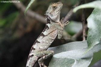 Schwarzkopf-Nackenstachler (Acanthosaura lepidogaster)