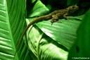 Anolis roquet