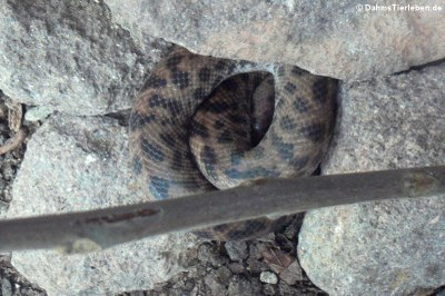 Fleckenpython (Antaresia maculosa)