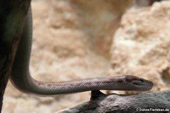 Stimson-Python (Antaresia stimsoni)