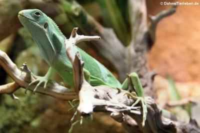 Fidschileguan (Brachylophus bulabula)