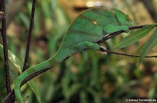 Parsons Chamäleon (Calumma parsonii) im Kölner Zoo