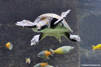 Papua-Weichschildkröte (Carettochelys insculpta)