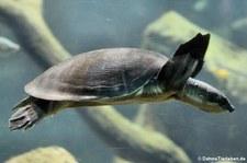 Papua-Weichschildkröte (Carettochelys insculpta) im Kölner Zoo