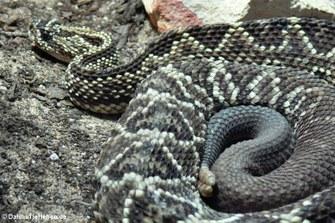 Schauer-Klapperschlange (Crotalus durissus)