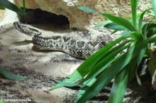 Cascabel oder Schauer-Klapperschlange (Crotalus durissus durissus) im Kölner Zoo