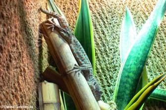 Tokeh (Gecko gekko)