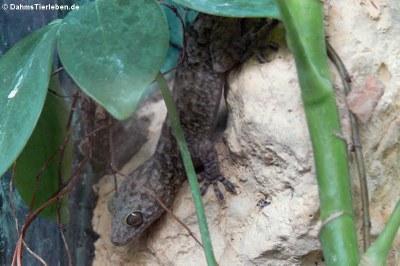 Abenteuer-Wissen Gecko (Gekko scientiadventura)