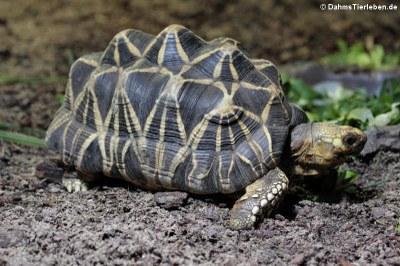 Burmesische Sternschildkröte (Geochelone platynota)