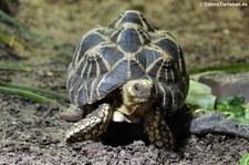 Burmesische Sternschildkröte (Geochelone platynota) im Zoo Köln