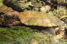 Spenglers Zacken-Erdschildkröte (Geoemyda spengleri) im Kölner Zoo