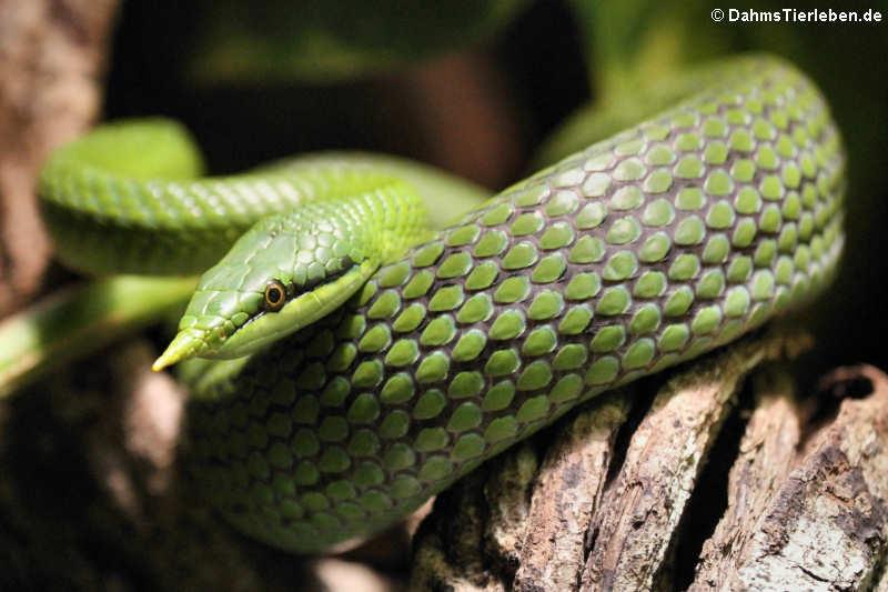 Schlangen — DahmsTierlebende