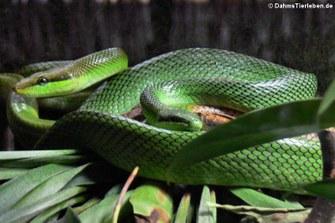 Spitzkopfnatter (Gonyosoma oxycephalum)