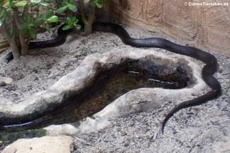 Schwarze Kettennatter (Lampropeltis nigra)