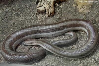 Rosenboa (Lichanura trivirgata)