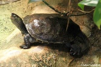 Chinesische Streifenschildkröte (Mauremys sinensis)
