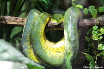 Grüner Baumpython (Morelia viridis)