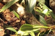 Kukrinatter (Oligodon purpurascens) im Kölner Zoo