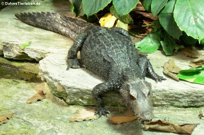 Brauen-Glattstirnkaiman (Paleosuchus palpebrosus)