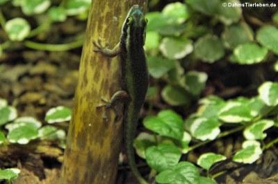 Schmucktaggecko (Phelsuma inexpectata)